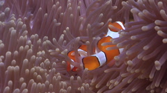 Clownfish swimming, Amphiprion percula, HD, UP29153 Stock Footage