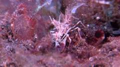 Tiger shrimp preening on black sand slope and muck, Phyllognathia Stock Footage