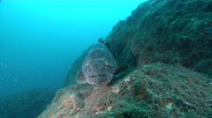 Malabar grouper on rocky reef, Epinephelus malabaricus, HD, UP29669 Stock Footage