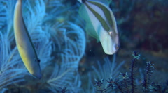 Rhinoceros filefish swimming on black sand slope and muck, Pseudalutarius Stock Footage