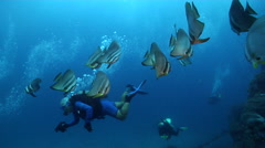 Group of scuba divers swimming in deep channel with Blunthead batfish in Fiji Stock Footage