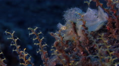 Juvenile Eschmeyer's scorpionfish flopping on black sand slope and muck, Stock Footage
