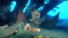 Longfin batfish swimming on wreckage, Platax pinnatus, HD, UP29847 Stock Footage