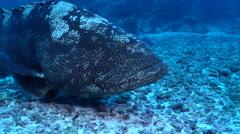 Malabar grouper, Epinephelus malabaricus, HD, UP19447 Stock Footage