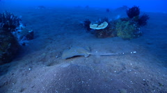Kuhl's Ray swimming on black sand slope and muck, Neotrygon kuhlii, HD, UP29945 Stock Footage