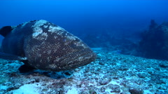 Malabar grouper in deep channel, Epinephelus malabaricus, HD, UP19449 Stock Footage