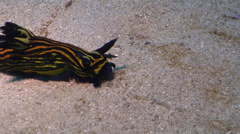 Blue and yellow lined slug feeding on sand, Roboastra luteolineata, HD, UP29043 Stock Footage