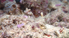 Morrison's dragonet feeding, Synchiropus morrisoni, HD, UP19457 Stock Footage