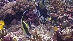 Clown triggerfish feeding on shallow coral reef, Balistoides conspicillum, HD, Stock Footage