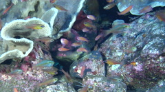 White banded cleaner shrimp swimming on cleaning station, Lysmata amboinensis, Stock Footage