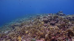 Clown triggerfish feeding on shallow coral reef, Balistoides conspicillum, HD, Stock Footage