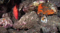 Tomato grouper hunting on black sand slope and muck, Cephalopholis sonnerati, Stock Footage