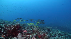 Common bluestripe snapper swimming and schooling on ancient single species coral Stock Footage