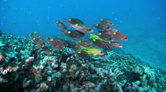 Gold-lined sea bream hovering and schooling on ancient single species coral Stock Footage