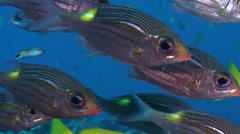 Gold-lined sea bream hovering and schooling, Gnathodentex aureolineatus, HD, Stock Footage