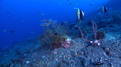 Flowery cod on black sand slope and muck, Epinephelus fuscoguttatus, HD, UP29915 Stock Footage