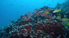 Gold-lined sea bream swimming and schooling on ancient single species coral Stock Footage