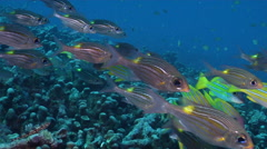 Gold-lined sea bream swimming and schooling, Gnathodentex aureolineatus, HD, Stock Footage