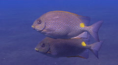 Golden rabbitfish swimming on black coral forest, Siganus guttatus, HD, UP29866 Stock Footage