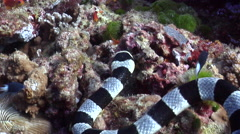 Banded sea krait hunting, Laticauda colubrina, HD, UP19487 Stock Footage