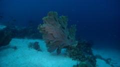 Elephant ear sponge on deep coral reef, Ianthella basta, HD, UP29134 Stock Footage