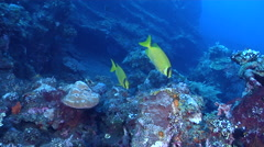 Masked rabbitfish feeding on wreckage, Siganus puellus, HD, UP29922 Stock Footage