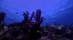 Ocean scenery on soft coral dominated reef, HD, UP19495 - stock footage