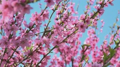 Apricot tree branches pink blossoming in spring sunlight Stock Footage