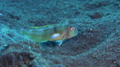 Female adult Baldwin's razorfish hovering on black sand slope and muck, Stock Footage