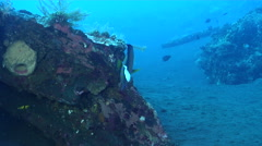 Blue-ringed angelfish feeding on wreckage, Pomacanthus annularis, HD, UP29849 Stock Footage