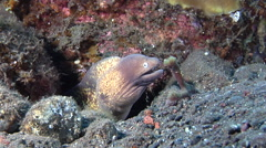 White-eyed moray gaping on black sand slope and muck, Gymnothorax thyrsoideus, Stock Footage