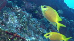 Coral rabbitfish feeding on wreckage, Siganus corallinus, HD, UP29852 Stock Footage