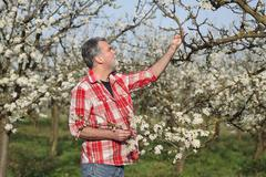 Farmer or agronomist in blossoming plum orchard - stock photo