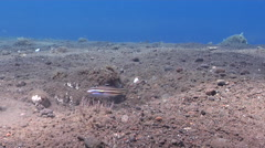 Twostripe goby housekeeping on black sand slope and muck, Valenciennea Stock Footage