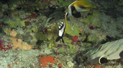 Masked bannerfish swimming in overhang, Heniochus monoceros, HD, UP29185 Stock Footage
