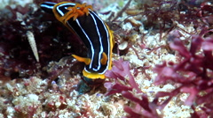 Kuiter's black white orange slug, Chromodoris kuiteri, HD, UP19529 Stock Footage