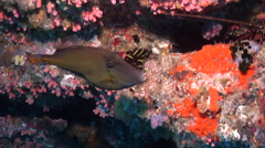 Large-scaled leatherjacket feeding in cavern, Cantheschenia grandisquamis, HD, Stock Footage
