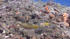 Compressed toby feeding on black sand slope and muck, Canthigaster compressa, - stock footage