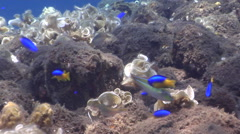 Cutribbon wrasse swimming on rocky shallows, Stethojulis interrupta, HD, UP29901 Stock Footage