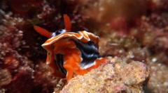 Magnificent orange black white slug sniffing, Chromodoris magnifica, HD, UP19543 Stock Footage
