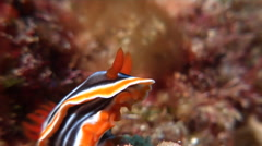 Magnificent orange black white slug sniffing, Chromodoris magnifica, HD, UP19544 Stock Footage