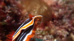 Magnificent orange black white slug sniffing, Chromodoris magnifica, HD, UP19545 Stock Footage