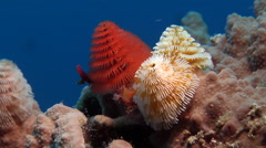 Christmas tree worms, Spirobranchus giganteus, HD, UP19548 Stock Footage