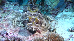 Crocodilefish on dead reef, Cymbacephalus beauforti, HD, UP29288 Stock Footage