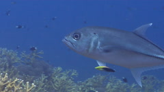 Bigeye trevally cleaning and being cleaned on shallow coral reef, Caranx Stock Footage