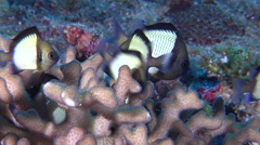 Adults and juveniles Reticulated damsel hiding and schooling on hard coral - stock footage