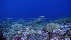 Bigeye barracuda swimming and schooling on shallow coral reef, Sphyraena Stock Footage