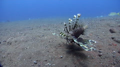 Common lionfish feeding on black sand slope and muck, Pterois volitans, HD, Stock Footage
