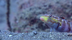 Redspotted sandperch looking around on black sand slope and muck, Parapercis Stock Footage