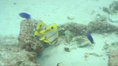 Beaked coralfish feeding, Chelmon rostratus, HD, UP19588 Stock Footage